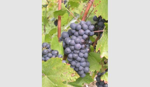 grappe vin cerdon